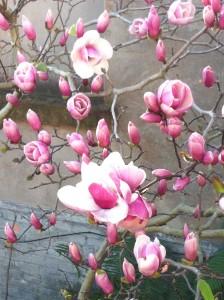 Magnolia Spring 2012