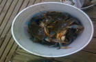 Crabs in the bucket!